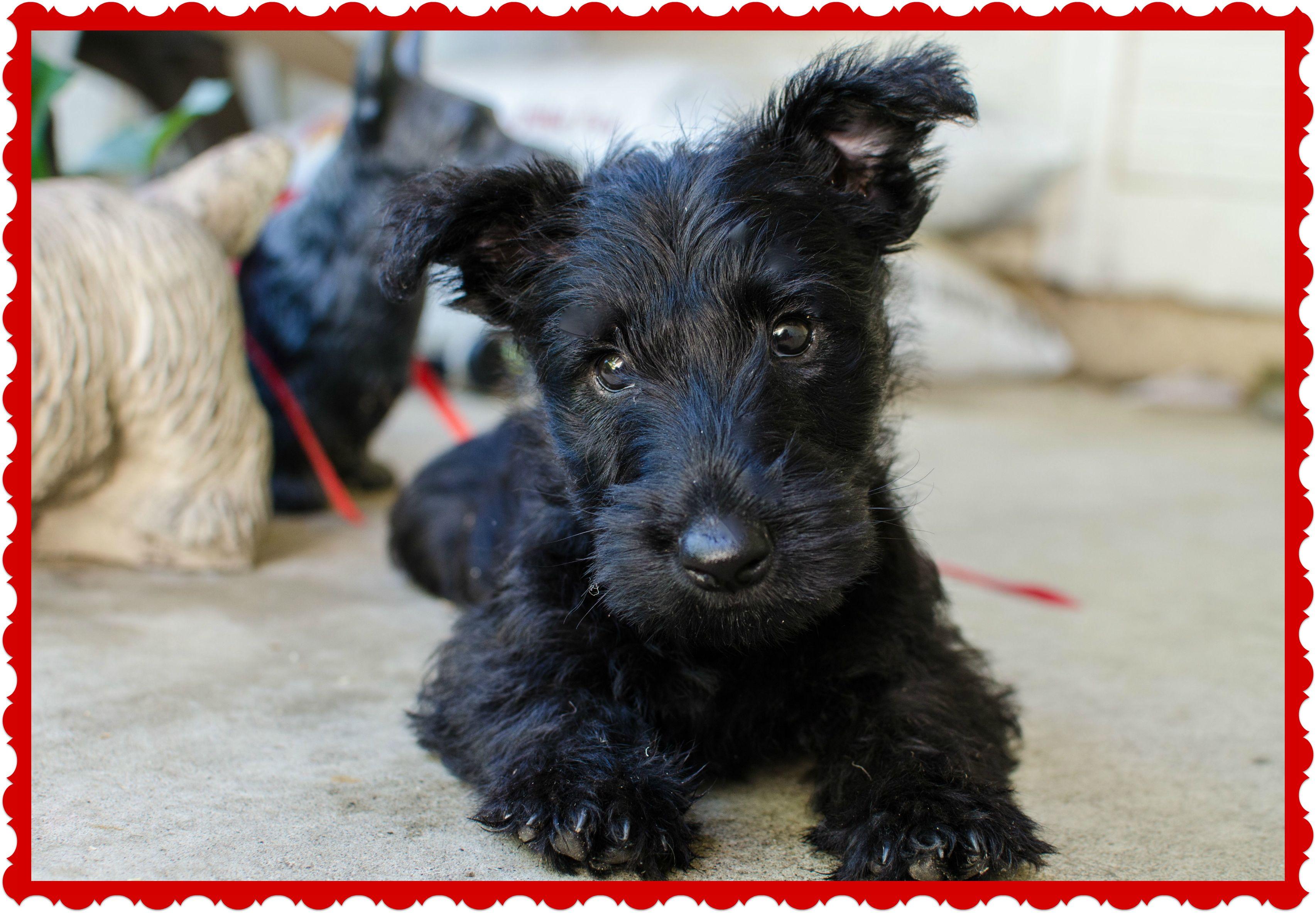 Scottish Terrier Dog: Scottish Scottie News Readers Dogs Rock Breed