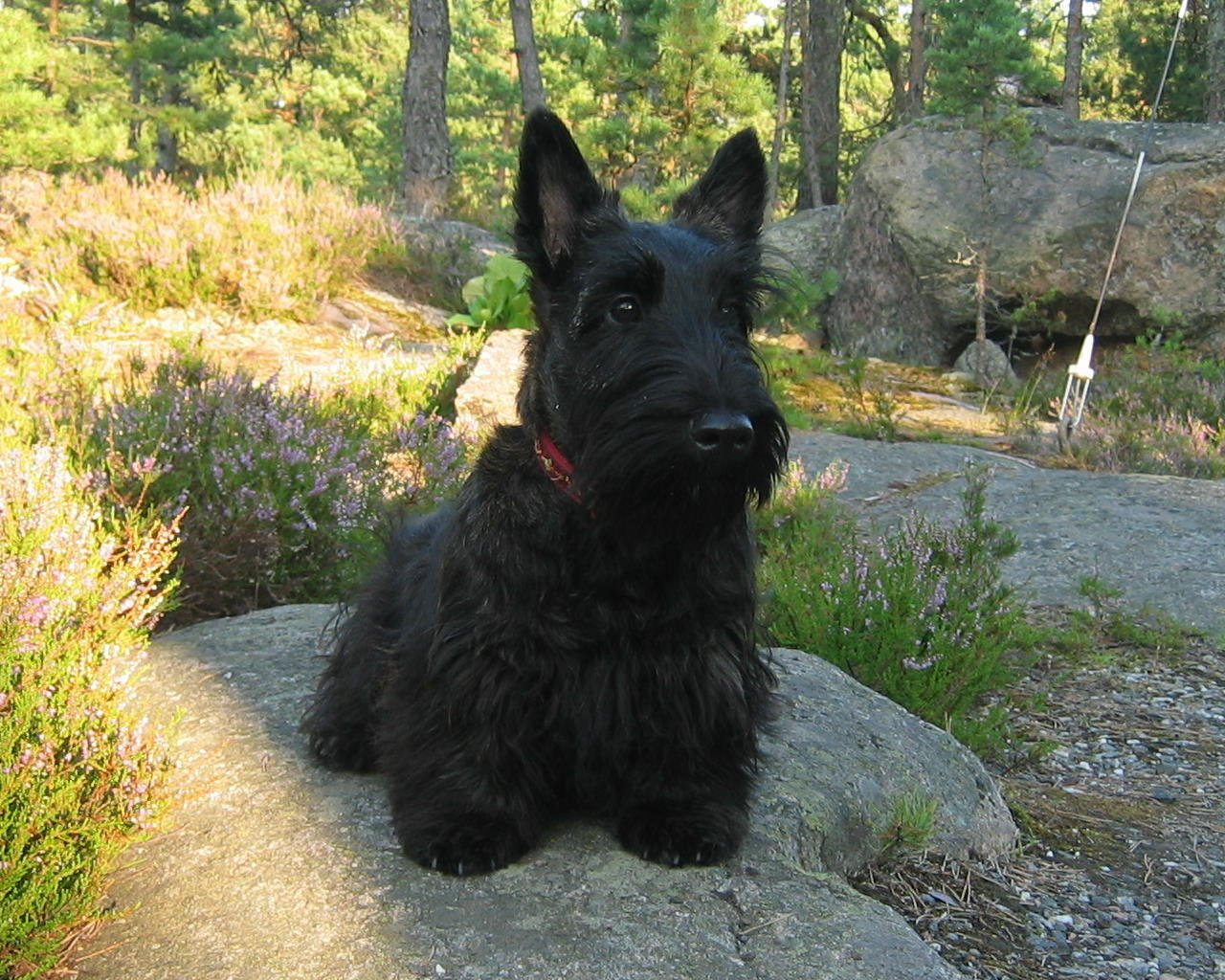Scottish Terrier Dog: Scottish Scottie Scottish Terrier Breed