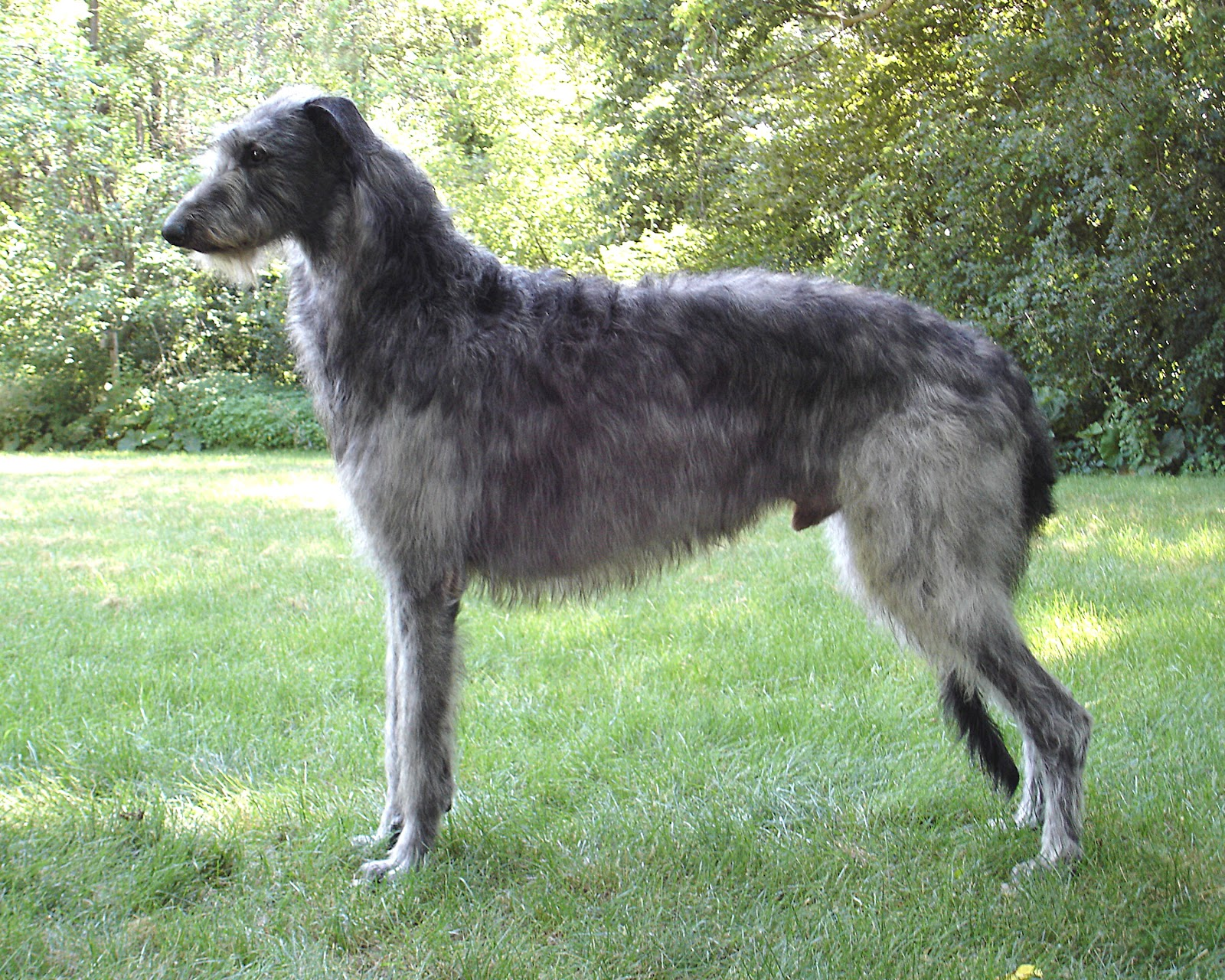 Scottish Deerhound Dog: Scottish Scottish Deerhound Breed