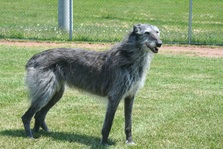 Scottish Deerhound Puppies: Scottish Scottish Deerhound Breeders Ohio