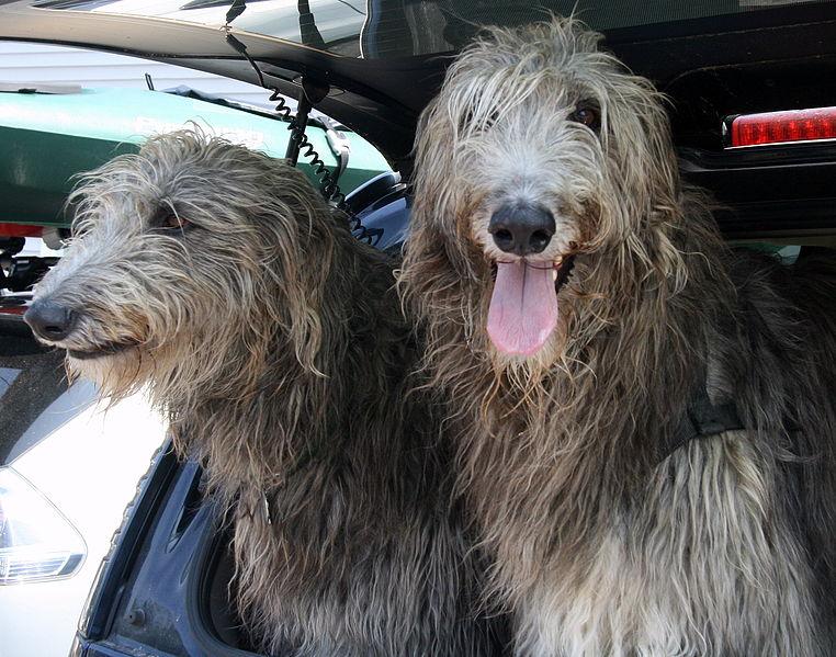 Scottish Deerhound Dog: Scottish Scottish Deerhound Dog Breed