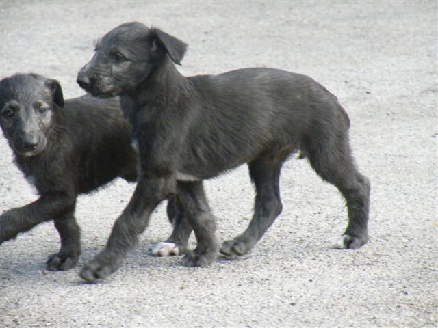 Scottish Deerhound Puppies: Scottish Scottish Deerhound Puppies Breed