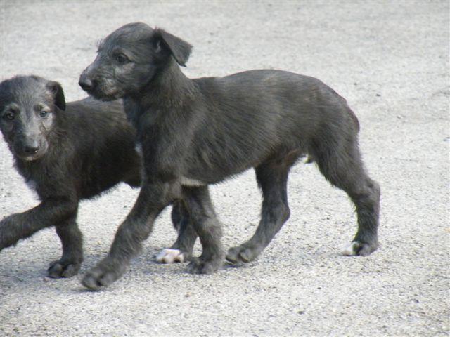 Scottish Deerhound Puppies: Scottish Scottish Deerhound Puppies Breed