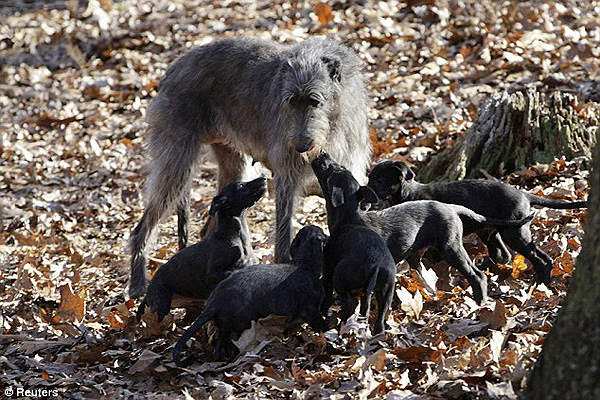 Scottish Deerhound Puppies: Scottish Scottish Deerhound Puppies Cost Breed