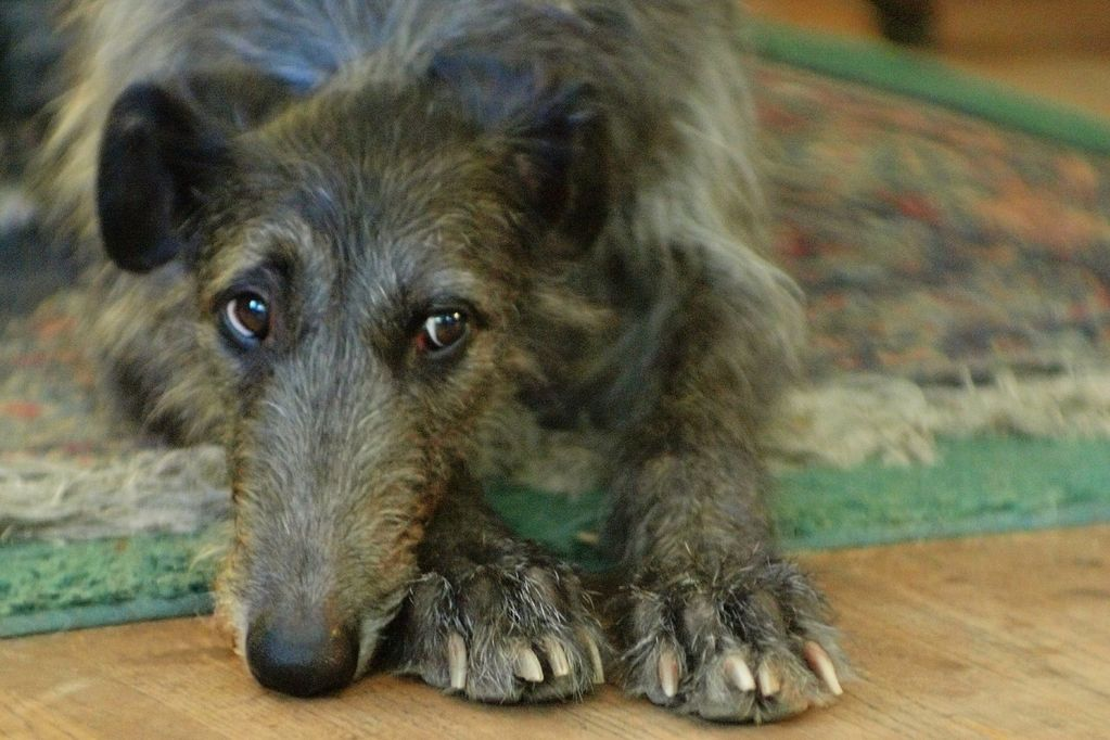 Scottish Deerhound Puppies: Scottish Scottish Deerhound Puppies Ohio Breed