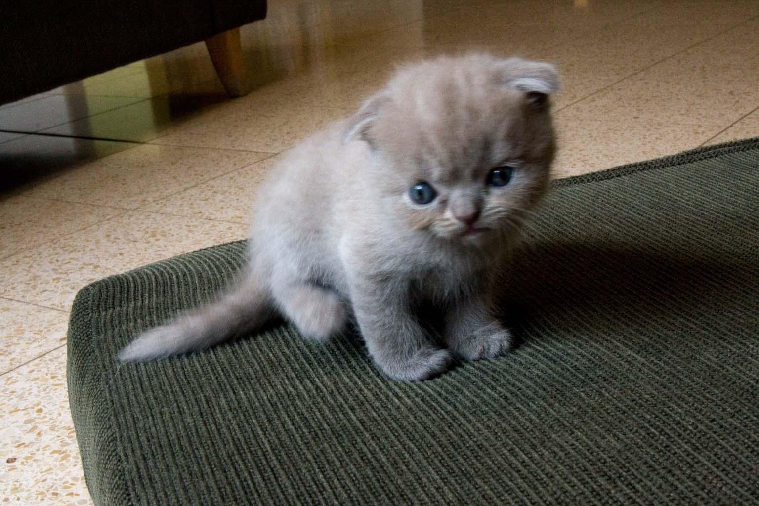 Scottish Fold Kitten: Scottish Scottish Fold Breed