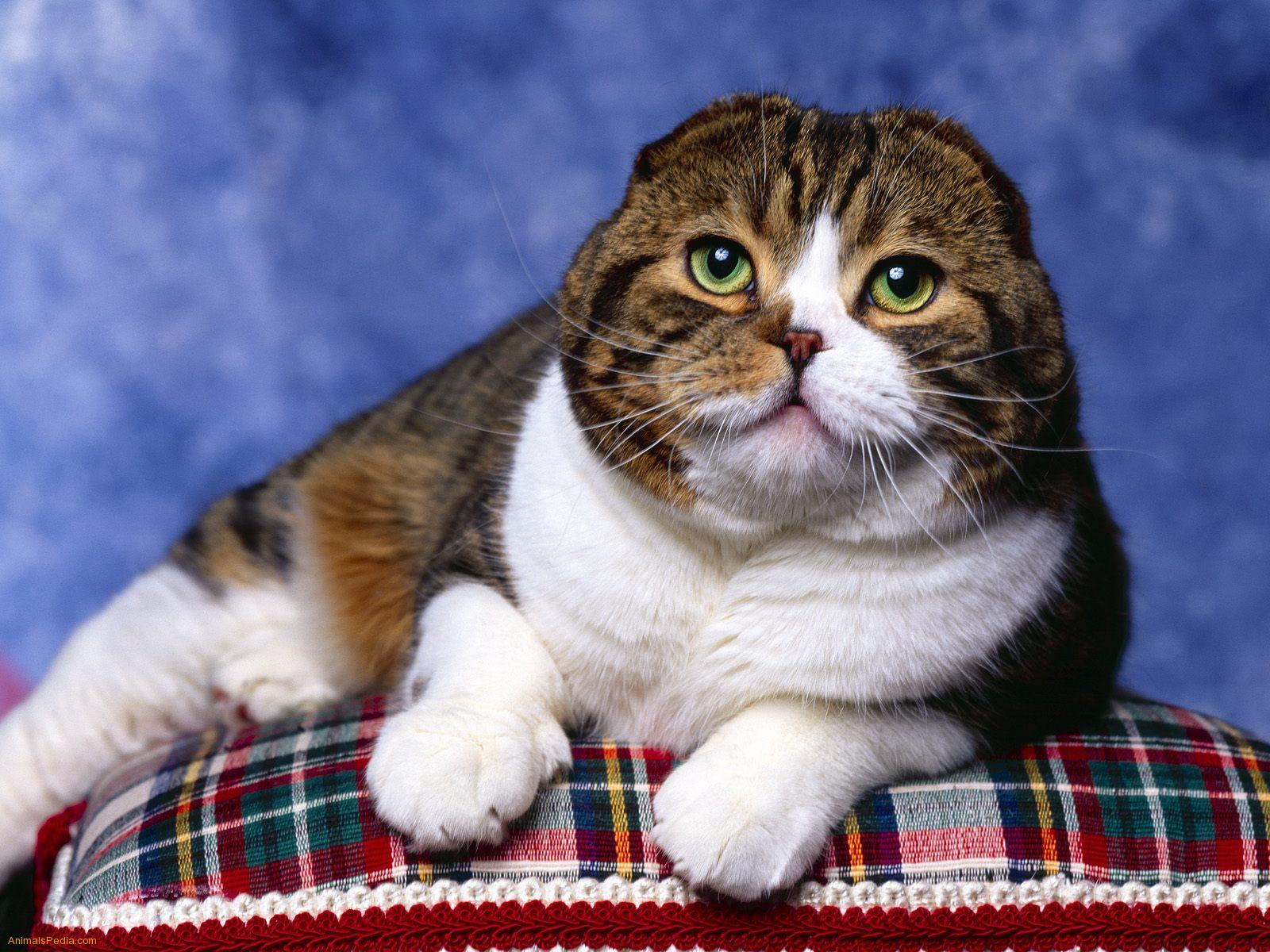 Scottish Fold Cat: Scottish Scottish Fold Cat Breed