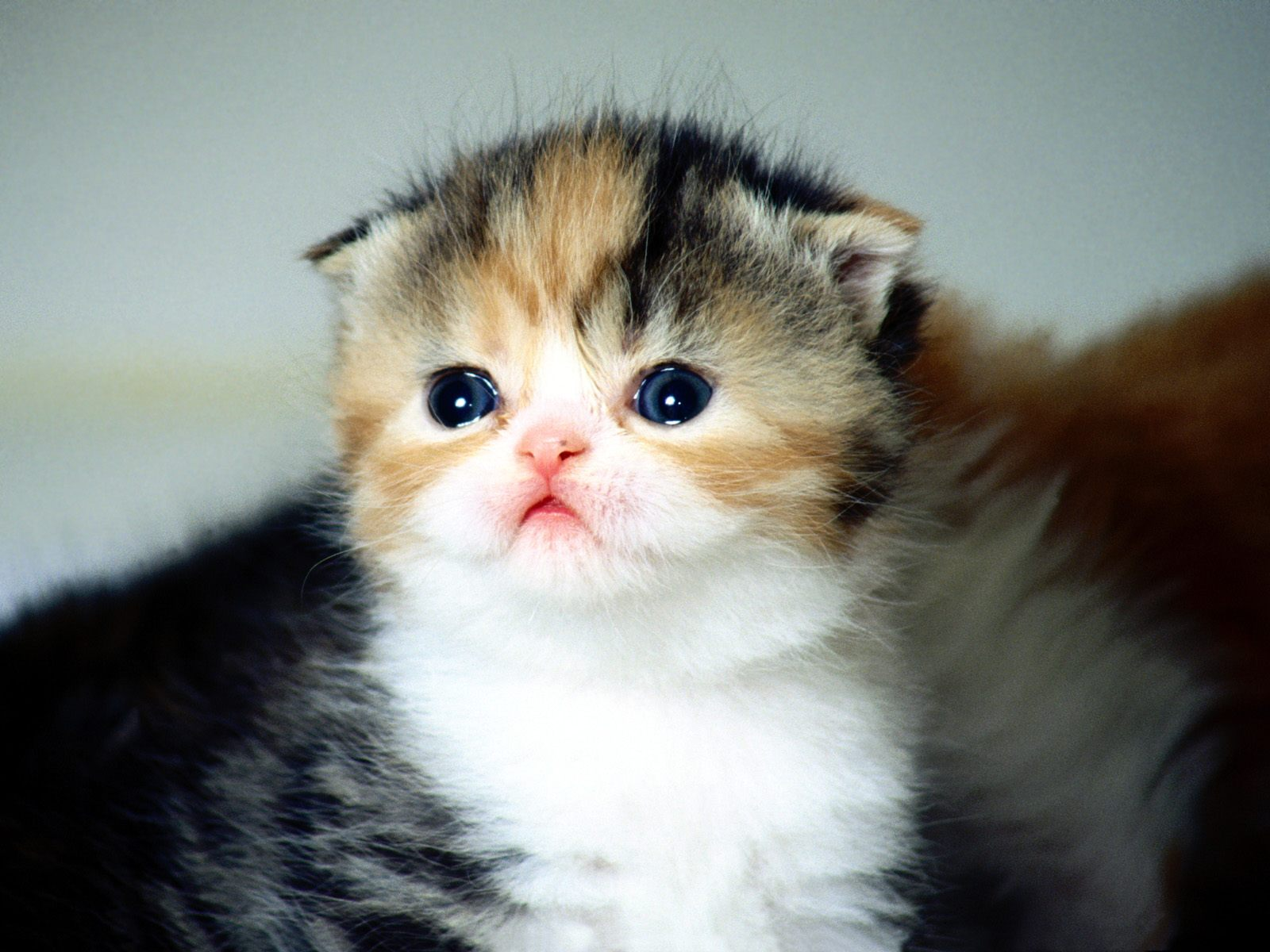 Scottish Fold Kitten: Scottish Scottish Fold Cat Pictures Breed