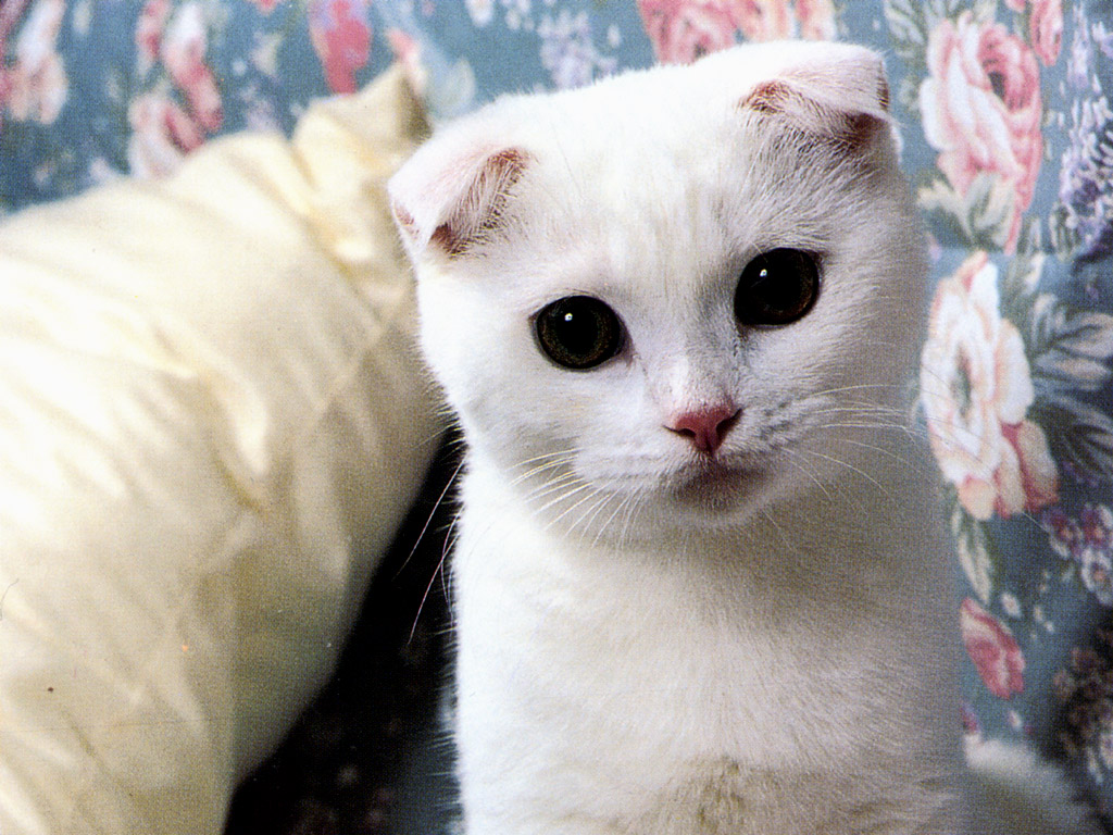 Scottish Fold Kitten: Scottish Scottish Fold Cats Breed