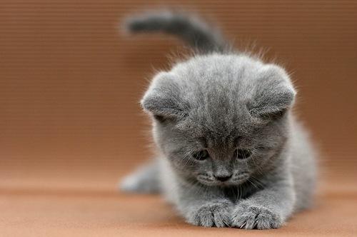 Scottish Fold Kitten: Scottish Scottish Fold Kittens Breed