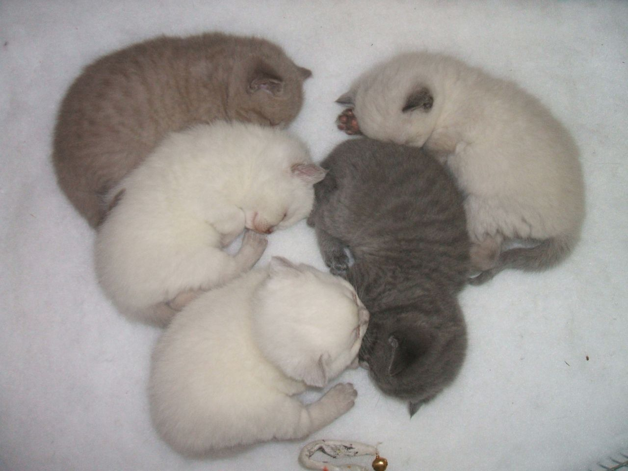 Scottish Fold Kitten: Scottish Scottish Fold Kittens Norwich Breed