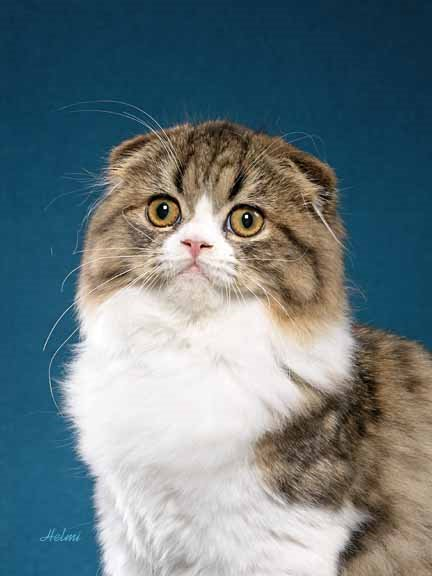 Scottish Fold Cat: Scottish Scottish Fold Poc Breed