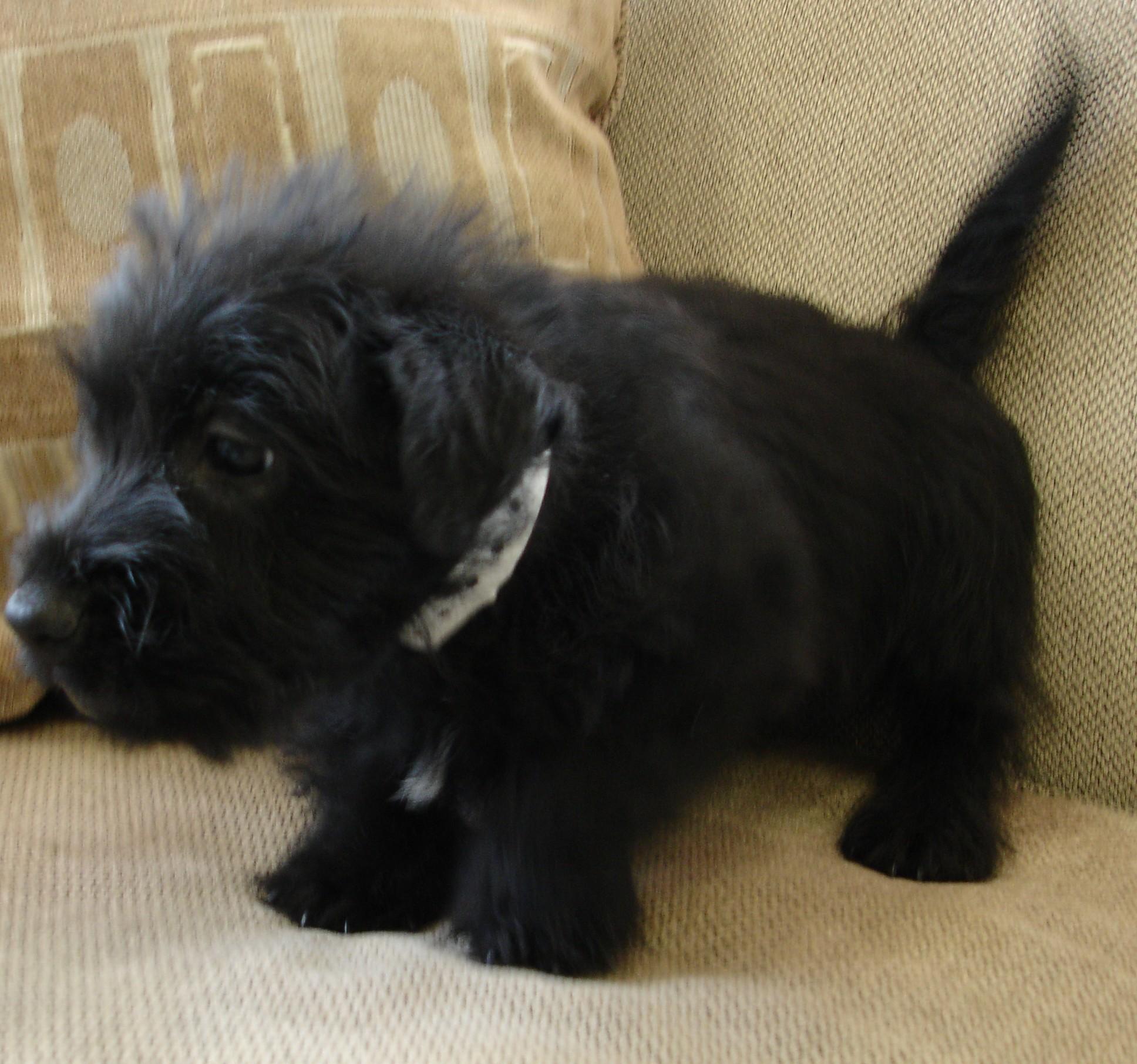Scottish Terrier Puppies: Scottish Scottish Terrier Breed