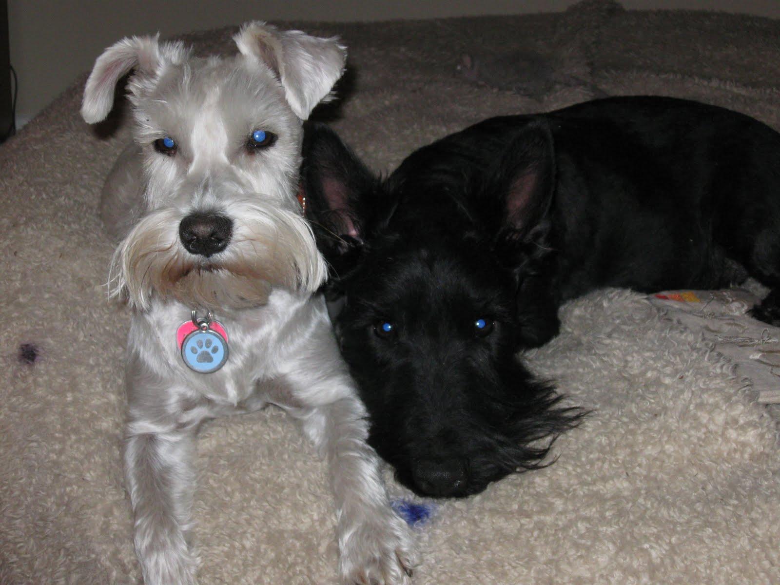 Scottish Terrier Dog: Scottish Scottish Terrier Dog Id Breed