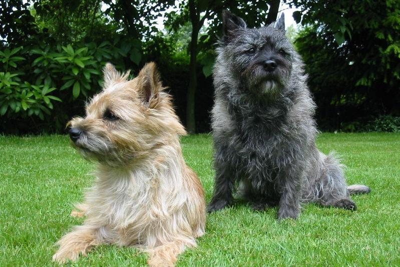 Scottish Terrier Dog: Scottish Scottish Terrier Dog S Breed