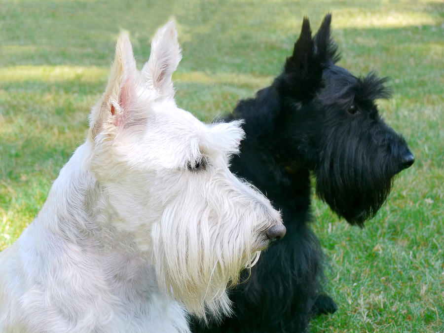 Scottish Terrier Dog: Scottish Scottish Terrier Dogs Jennie Marie Schell Breed