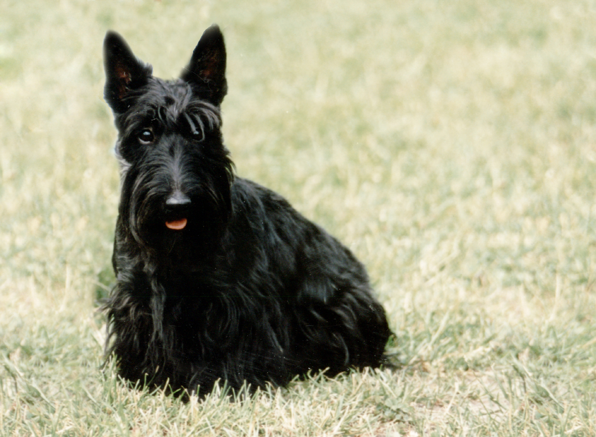 Scottish Terrier Dog: Scottish Scottish Terrier Dogs S Breed