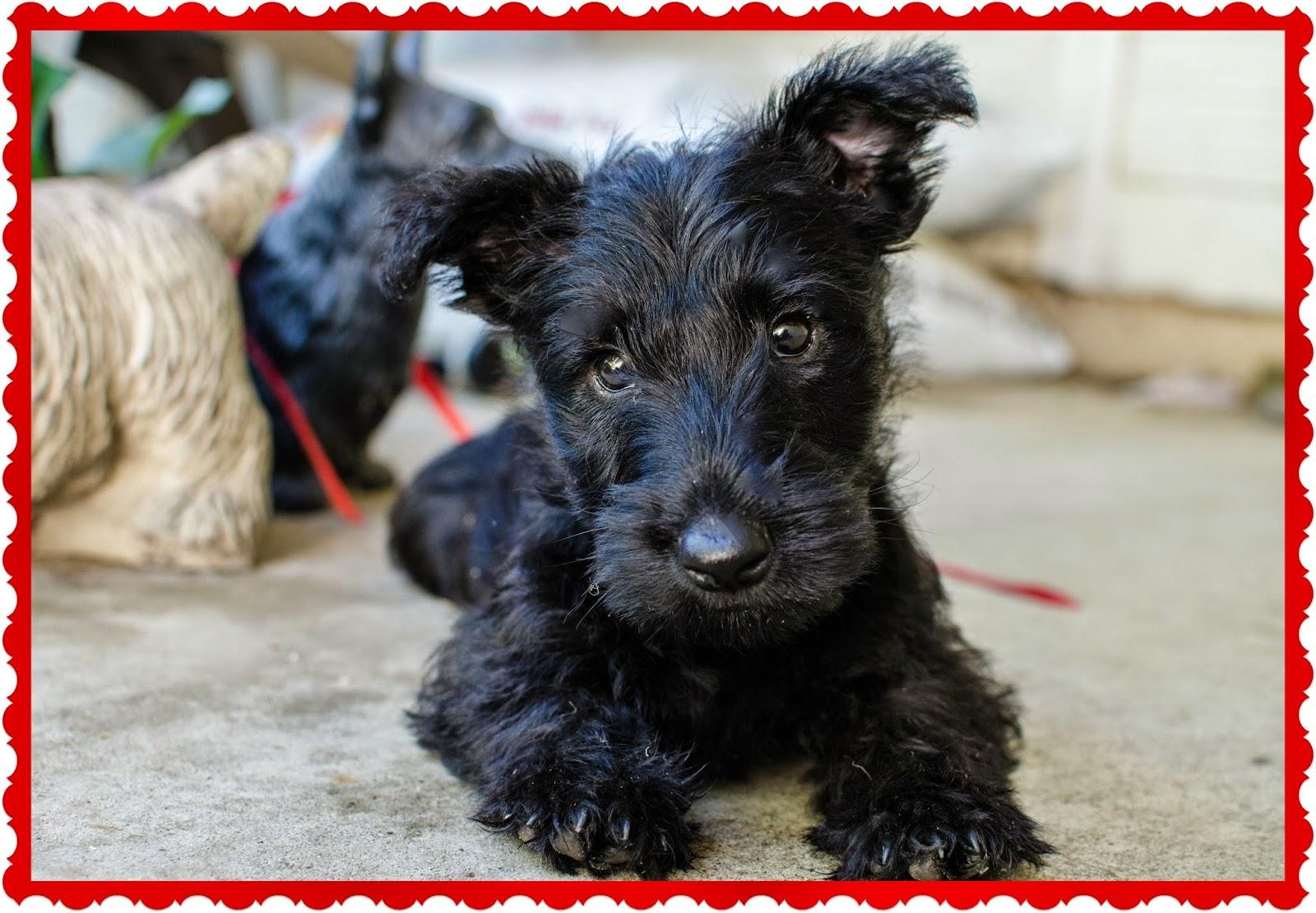 Scottish Terrier Puppies: Scottish Scottish Terrier Puppies Breed