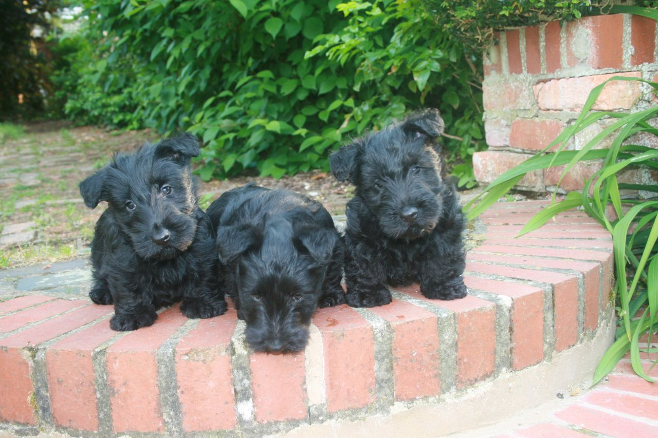Scottish Terrier Puppies: Scottish Scottish Terrier Puppies Market Harborough Breed