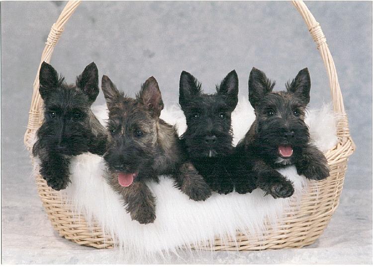 Scottish Terrier Puppies: Scottish Scottish Terrier Puppies Review Breed