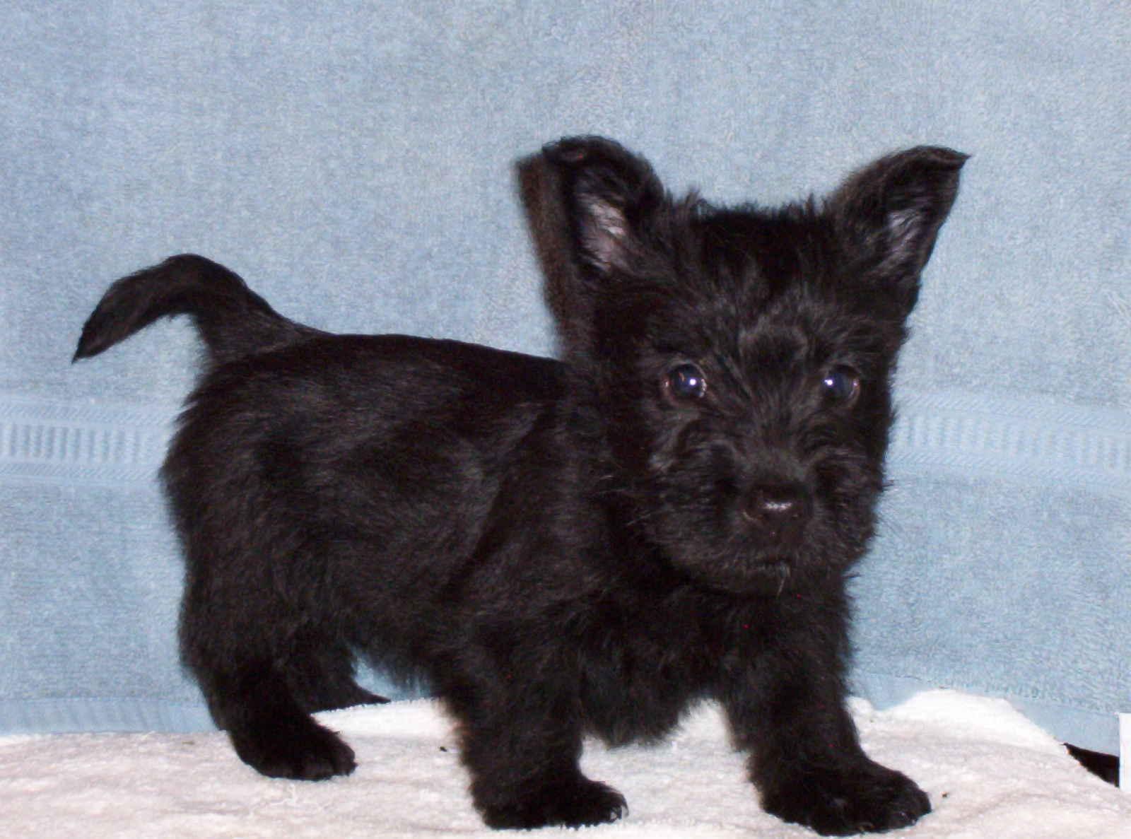 Scottish Terrier Puppies: Scottish Scottish Terrier Puppy Breed