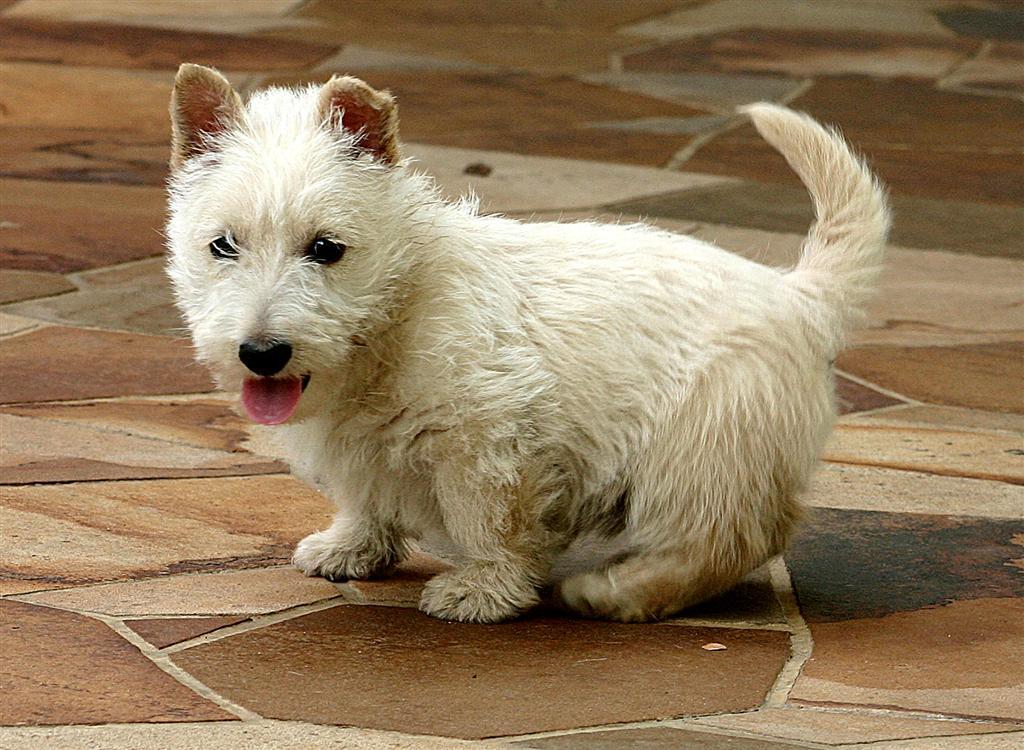 Scottish Terrier Puppies: Scottish Scottish Terrier Puppy Pictures Breed