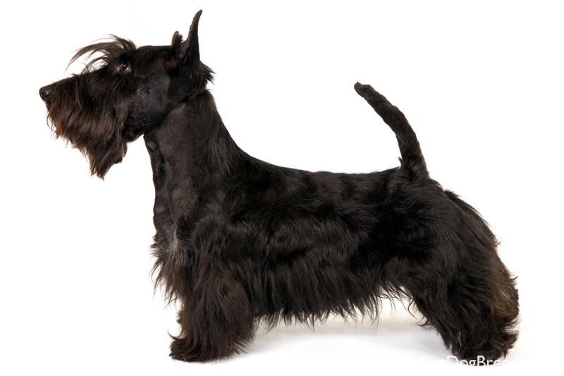 Scottish Terrier Dog: Scottish Scottish Terrier Terrier Breeds