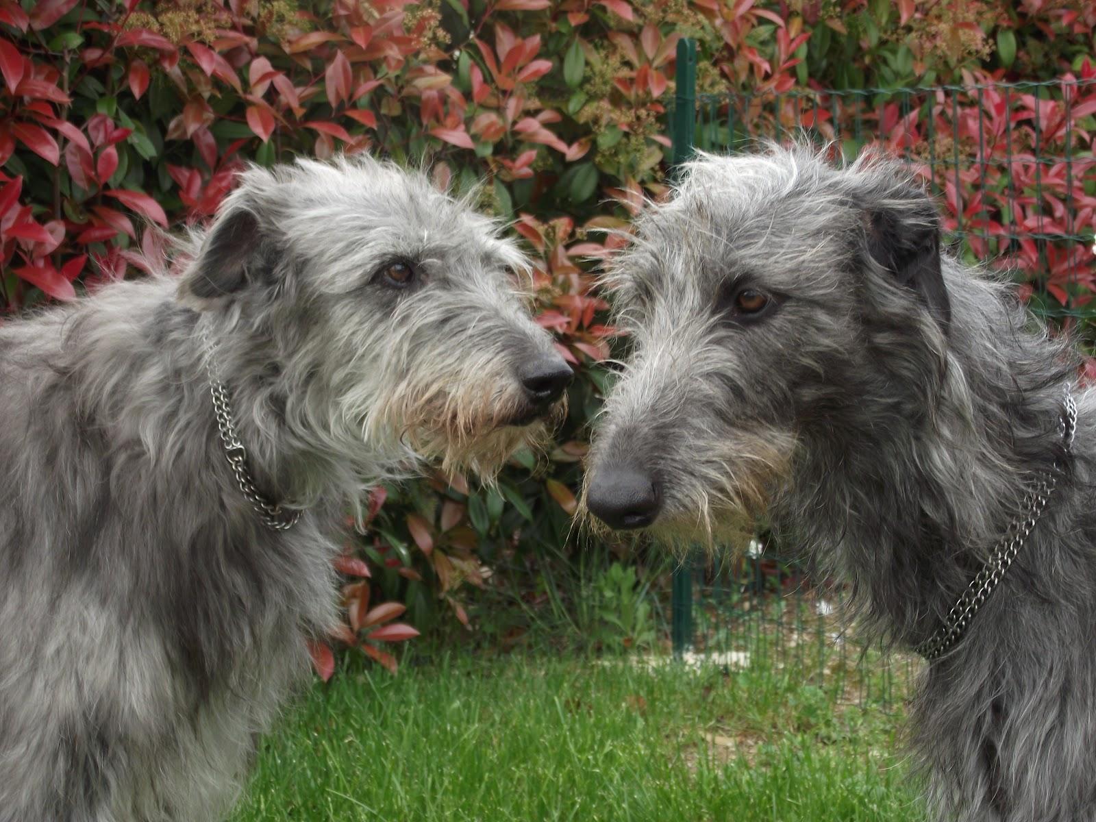 Scottish Deerhound Dog: Scottish Scottishdeerhoundpuppiesblog Breed