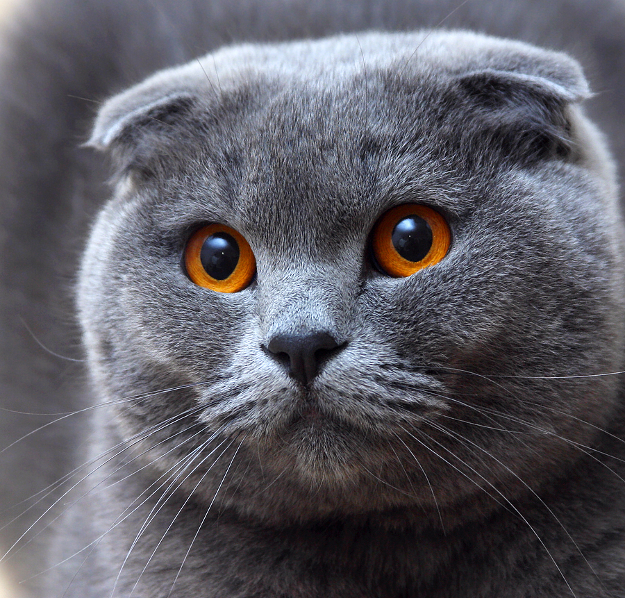 Scottish Fold Cat: Scottish Simba Iceberg Breed