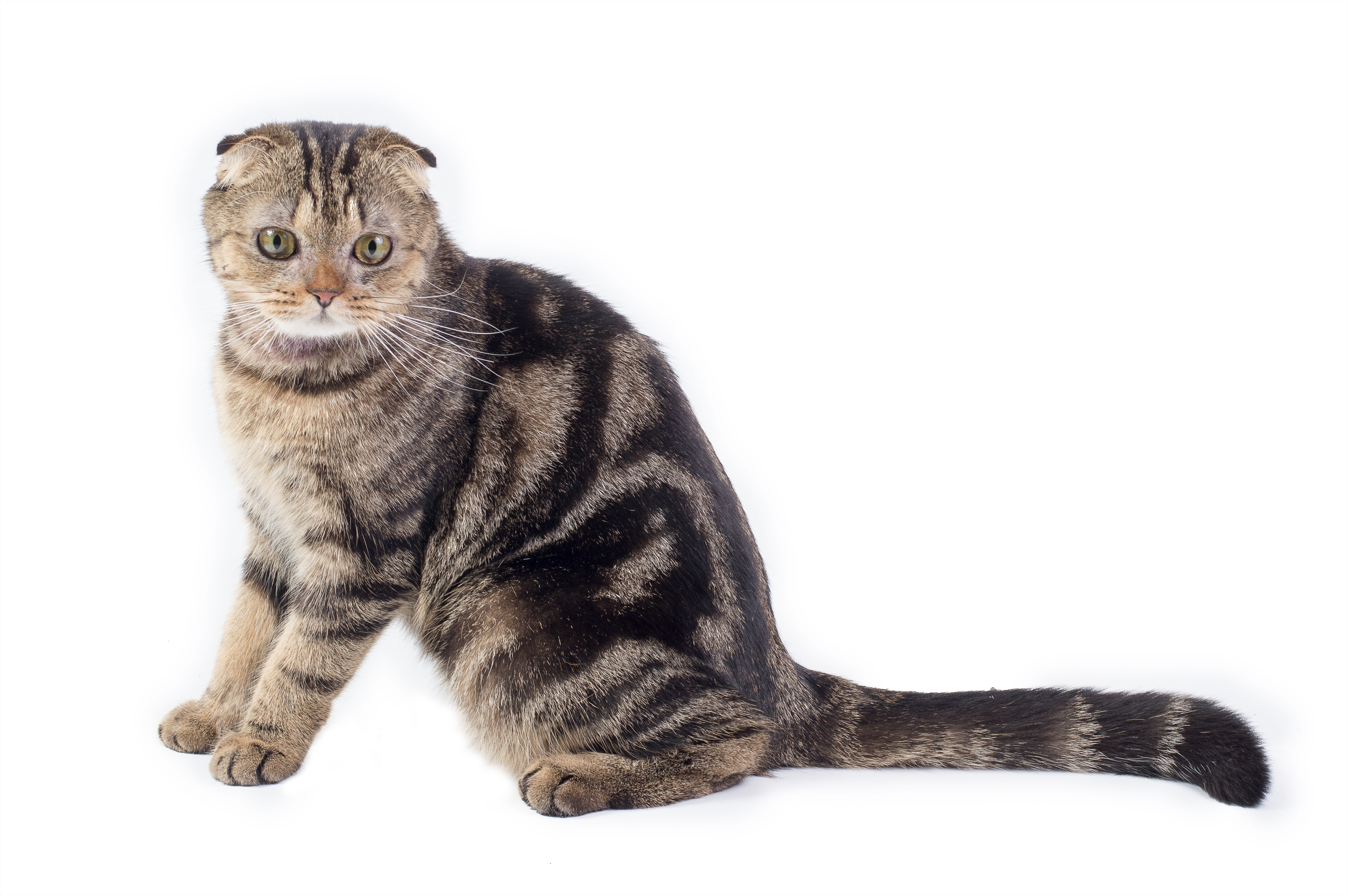 Scottish Fold Cat: Scottish The Smartest Cats Breed