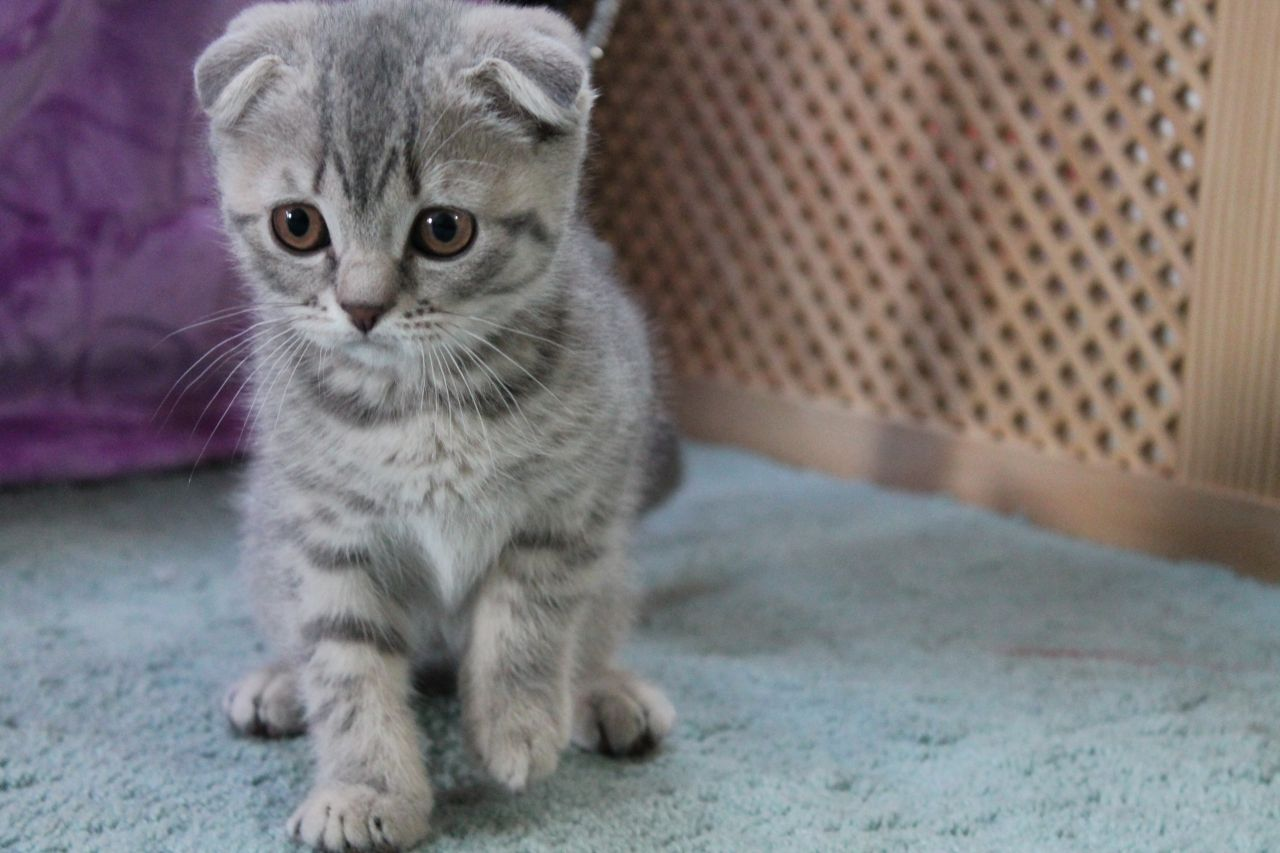 Scottish Fold Kitten: Scottish Very Cute Scottish Fold Kitten And Pictures Breed