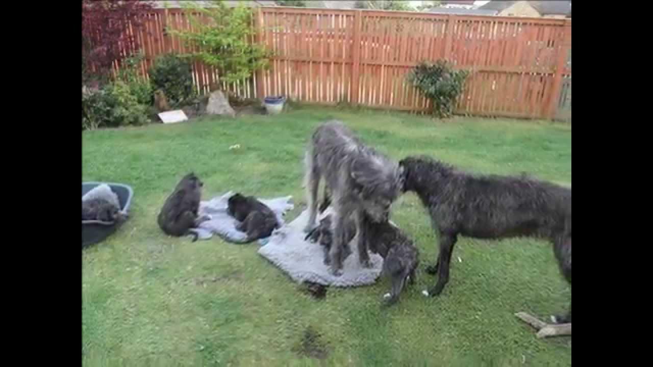 Scottish Deerhound Puppies: Scottish Watch Breed
