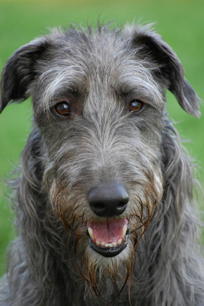 Scottish Deerhound Dog: Scottish Zephyr The Scottish Deerhound Breed
