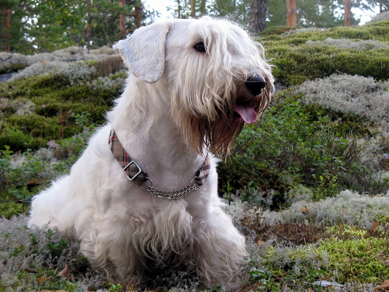 Sealyham Terrier Dog: Sealyham Animalindex Breed