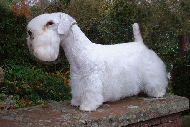 Sealyham Terrier Dog: Sealyham Breed