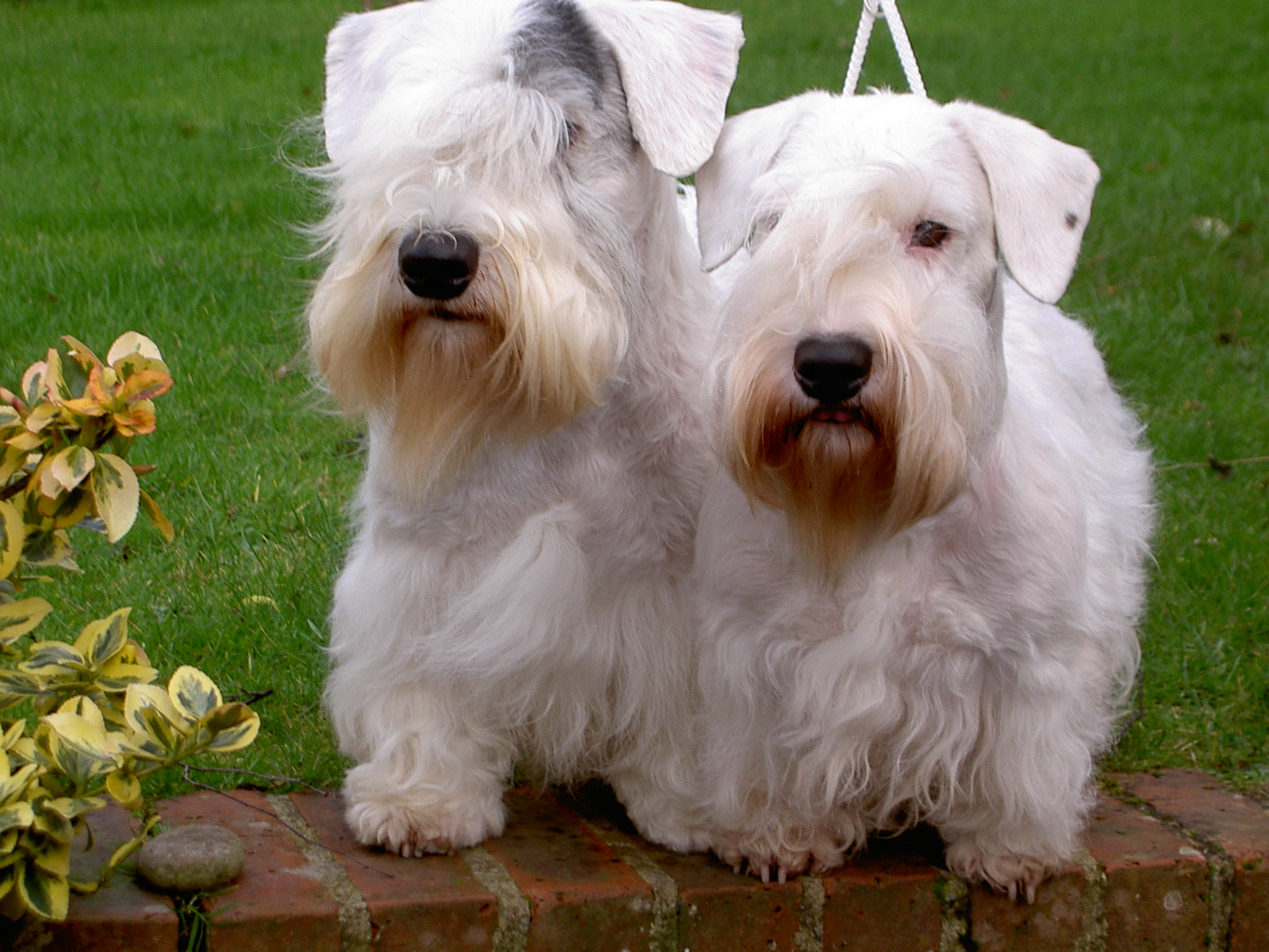 Sealyham Terrier Dog: Sealyham Cute Sealyham Terrier Dogs Breed