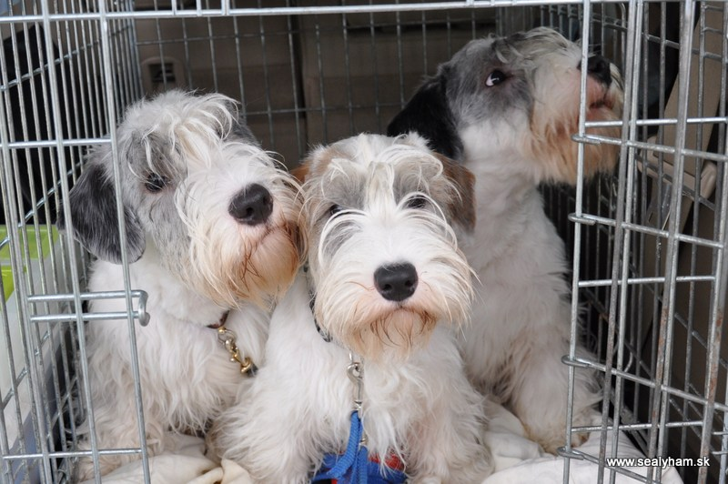 Sealyham Terrier Puppies: Sealyham Index Breed
