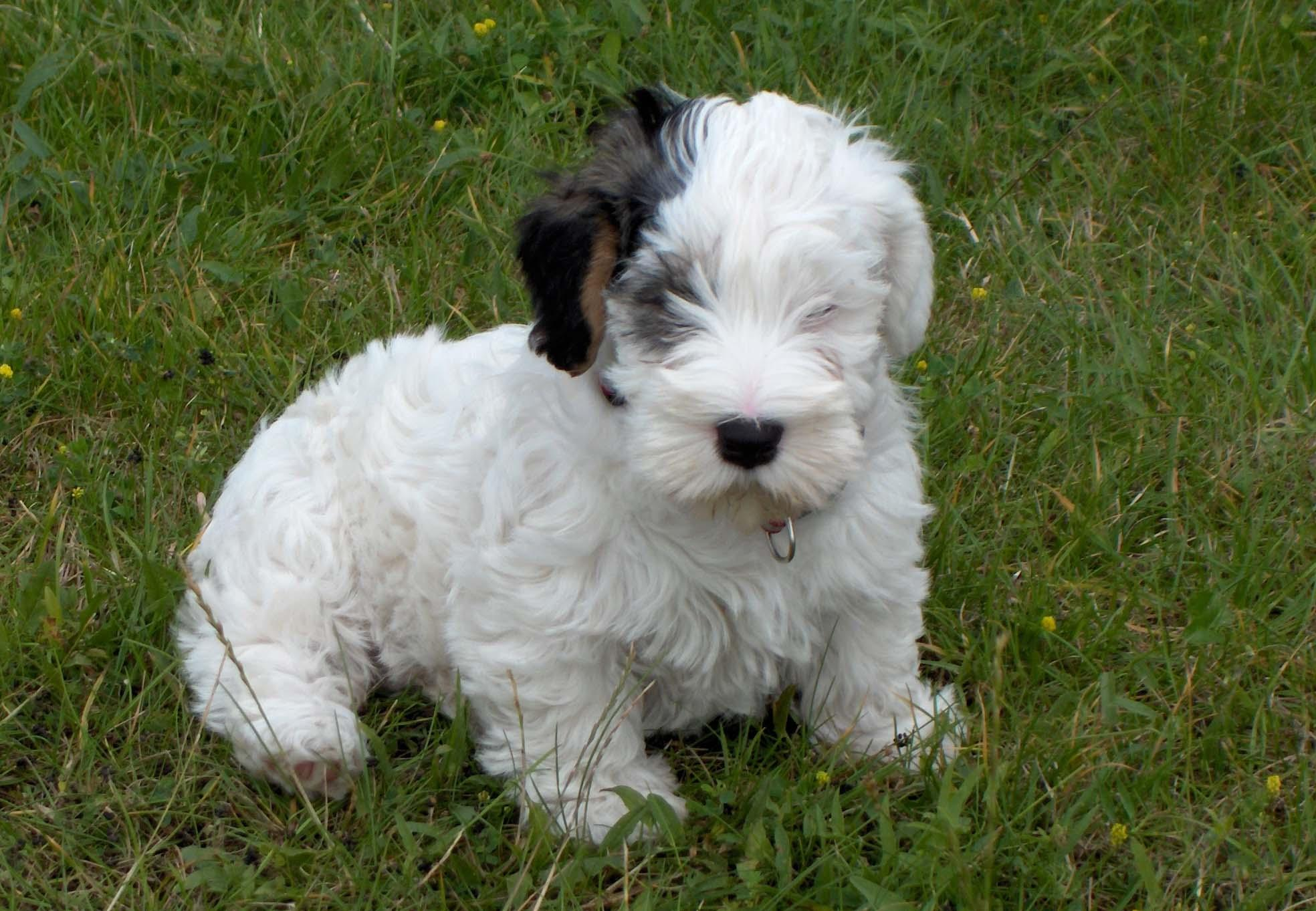Sealyham Terrier Dog: Sealyham Sealyham Terrier Breed