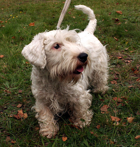 Sealyham Terrier Dog: Sealyham Sealyham Terrier Dog Breed