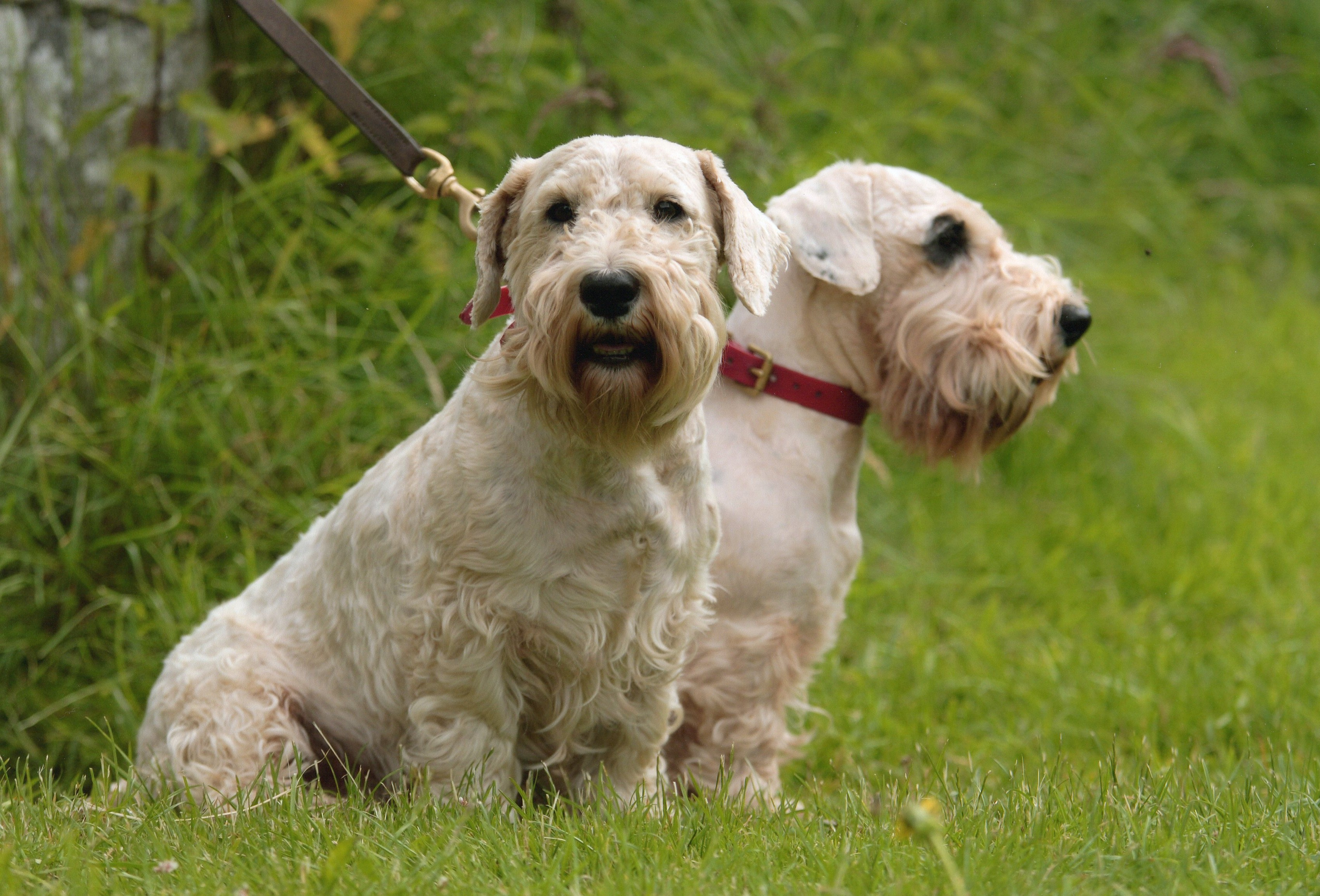 Sealyham Terrier Dog: Sealyham Sealyham Terrier Dogs In The Forest Breed