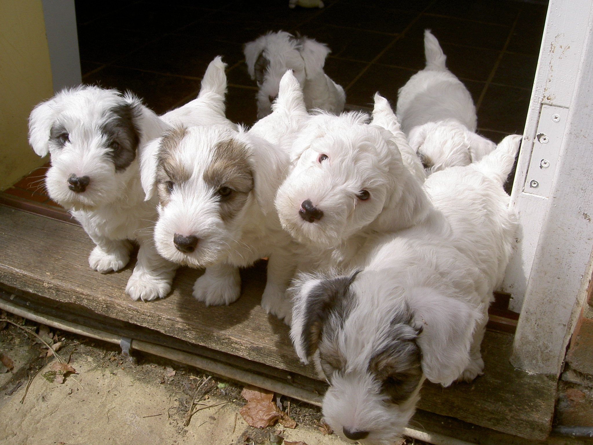 Sealyham Terrier Dog: Sealyham Sealyham Terrier Puppies Breed