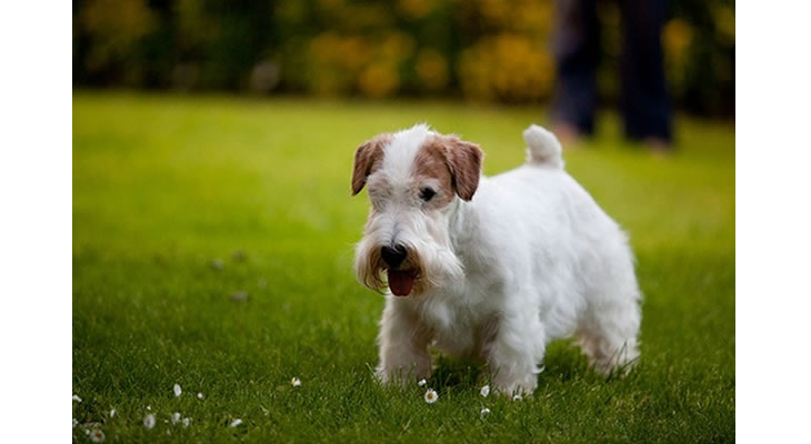 Sealyham Terrier Puppies: Sealyham Sealyham Terrier Puppies For Sale Breed