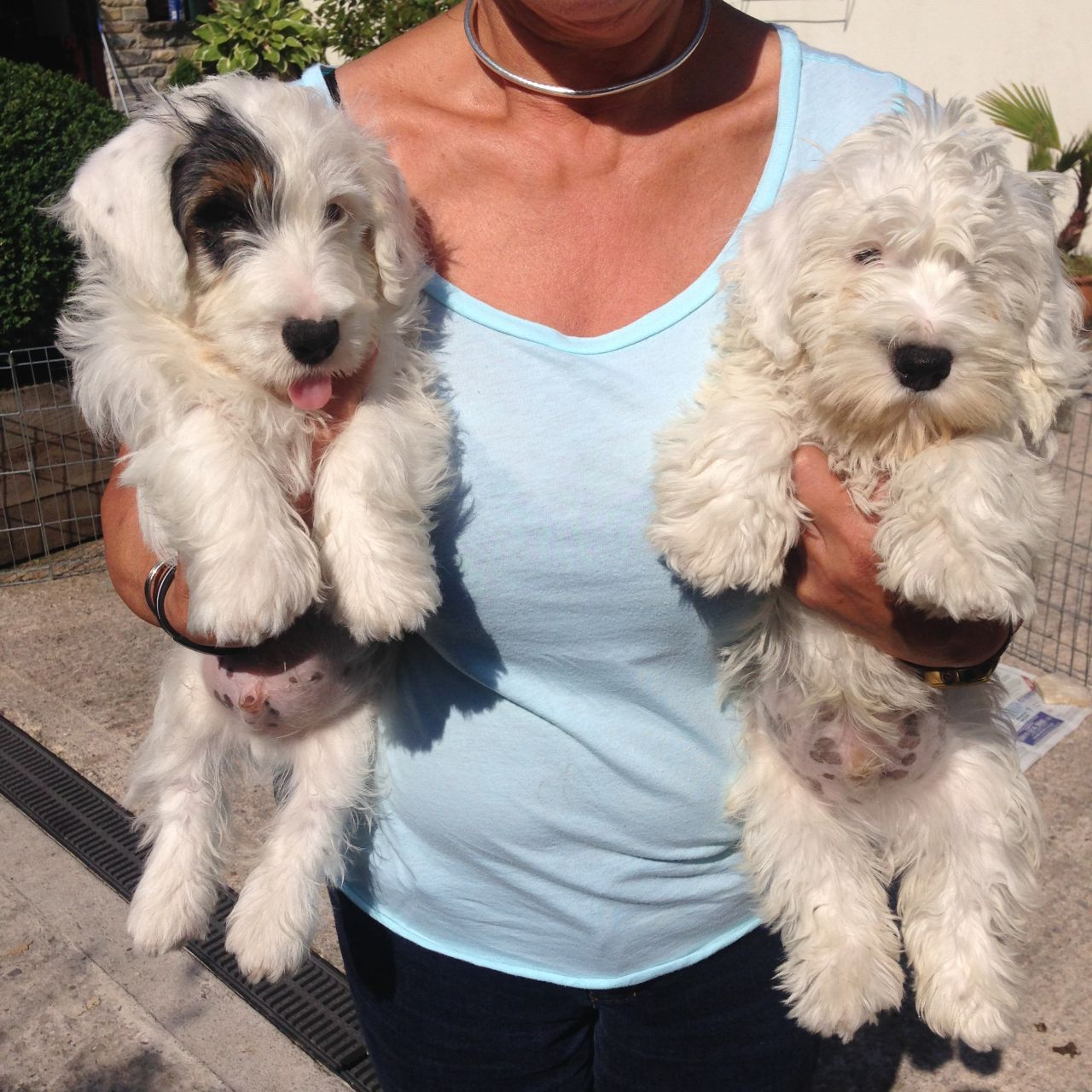 Sealyham Terrier Puppies: Sealyham Sealyham Terrier Puppies For Sale Langport Breed