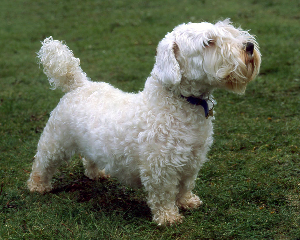 Sealyham Terrier Puppies: Sealyham Sealyham Terrier Puppies Id Breed