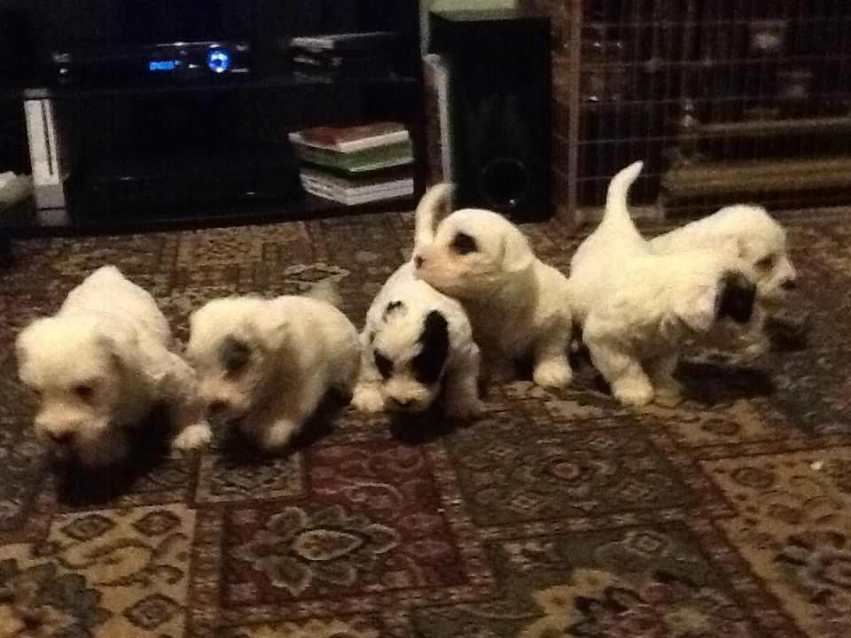 Sealyham Terrier Puppies: Sealyham Sealyham Terrier Puppies Wickford Breed