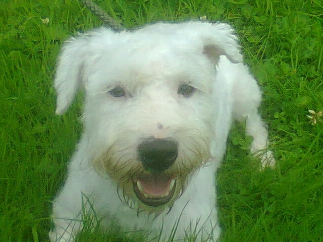 Sealyham Terrier Puppies: Sealyham Sealyham X Sporting Lucas Terrier Puppies Oswestry Breed
