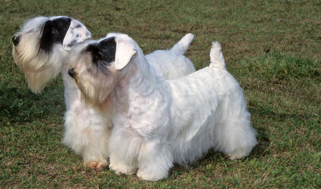 Sealyham Terrier Puppies: Sealyham Uncommon Terriers Sealyham Breed