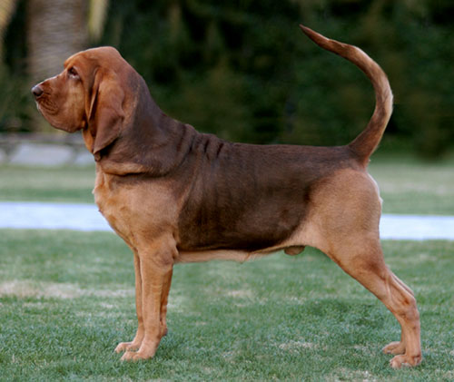 Segugio Italiano Puppies: Segugio Bloodhound Dogs Breed