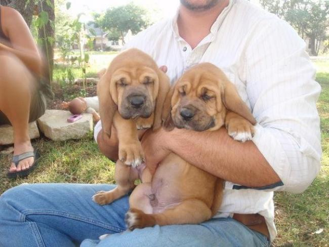 Segugio Italiano Puppies: Segugio Bloodhound Puppies Breed