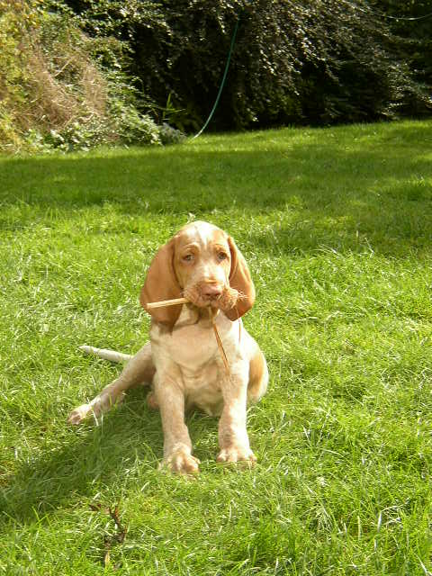 Segugio Italiano Puppies: Segugio Bracco Italiano Breed